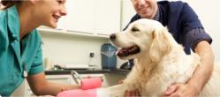 golden retriever with vet